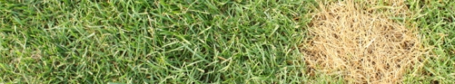 common lawn disease