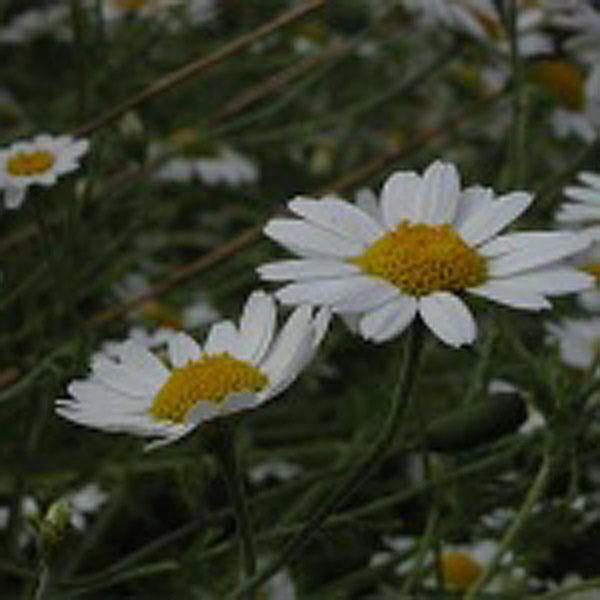 Corn Chamomile Wildflowers