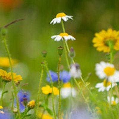 Wildflower miux damp loamy soil