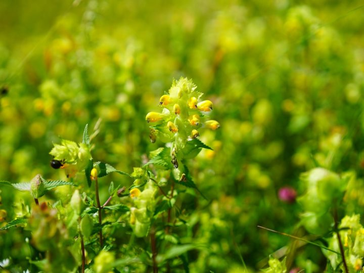 Yellow Rattle, the natural way to establish wildflowers