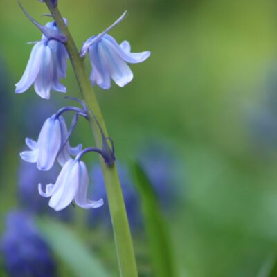 Bluebell Wildflower Seed