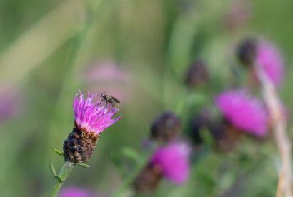 Common Knapweed Wildflower Seed