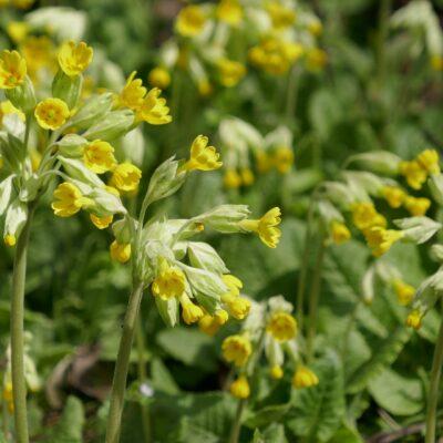 Cowslip Wildflower Seed