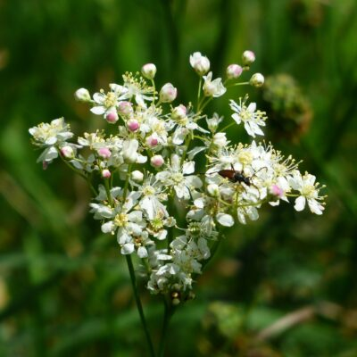 Meadowsweet Wildflower Seed