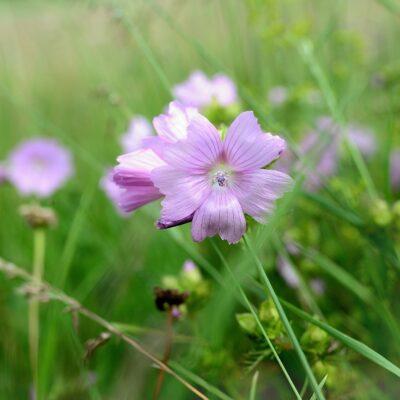 Musk Mallow Wildflower Seed