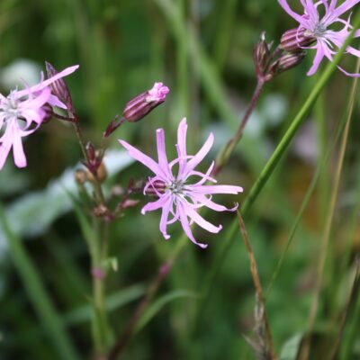 Ragged Robin Wildflower Seed