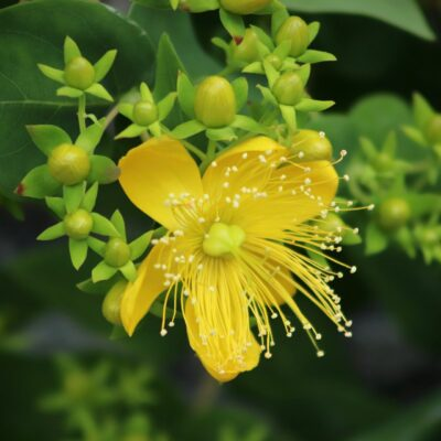St Johns Wort Wildflower Seed