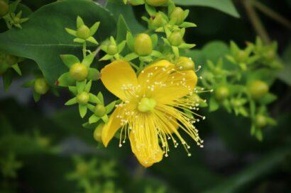 St Johns Wort Wildflower Seed