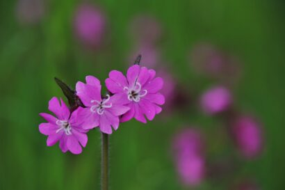 Red Campion Wildflower Seed