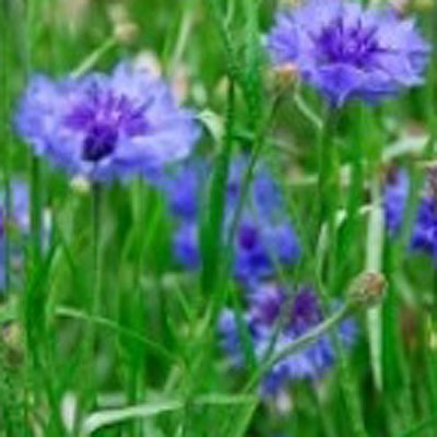 Fragrant Pollinators Lawn
