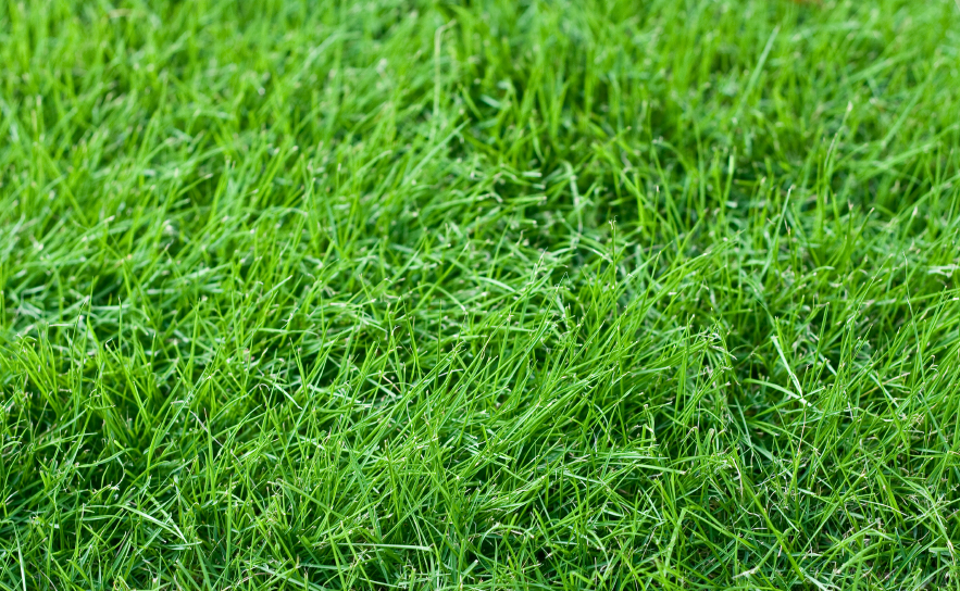 Fescue Young Jpg