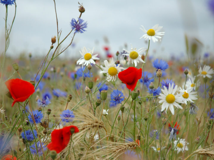 Bringing Wildflowers to your Lawn