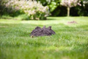 Molehill in lawn