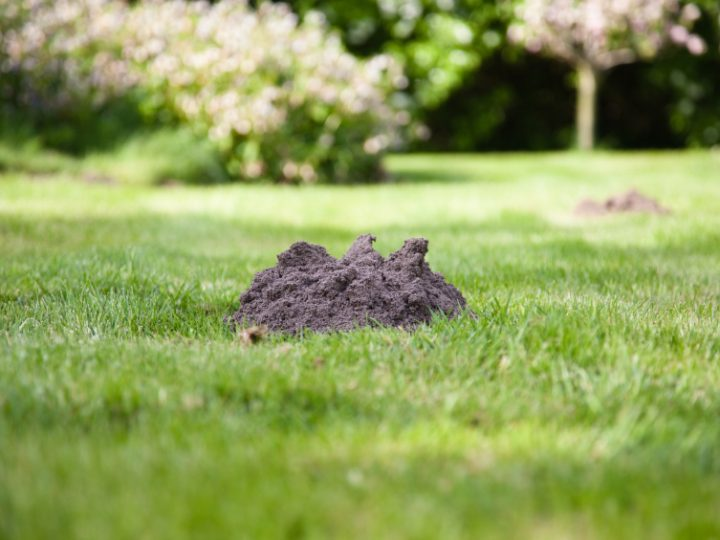 Controlling Moles in Your Lawn