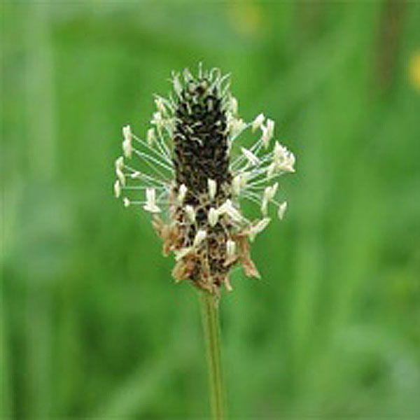 Ribwort Plantain Wildflowers