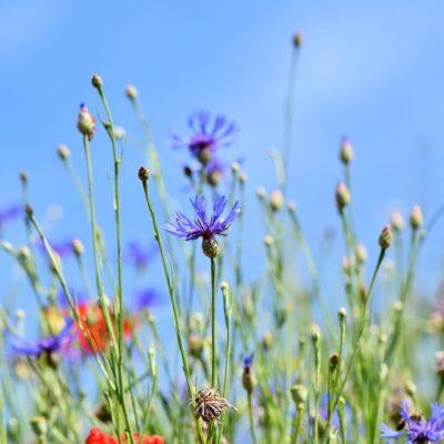 Cornflower Wildflower Seed