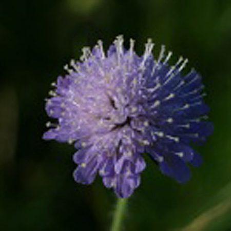 Field Scabious Wildflowers