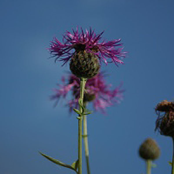 Lesser Knapweed Wildlflowers