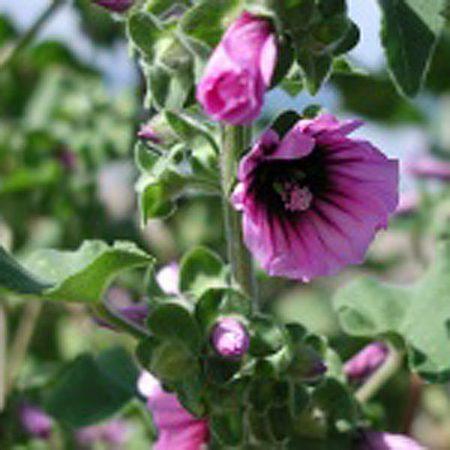 Musk mallow Wildflowers