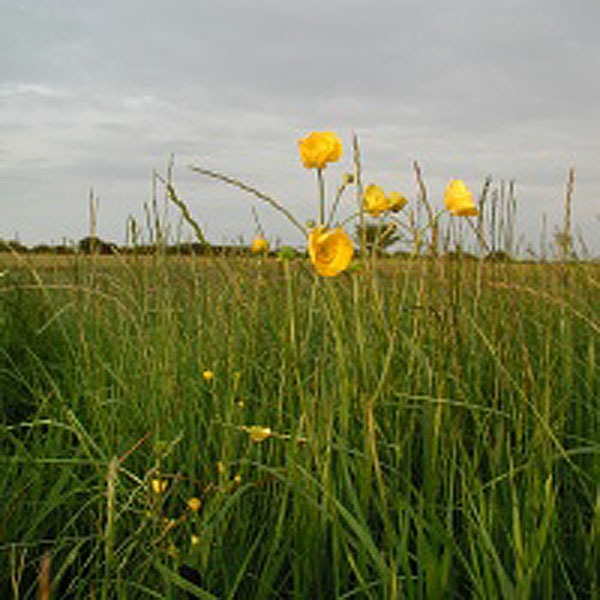 Meadow Buttercup Wildlfowers