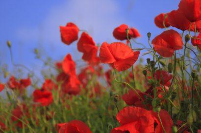 Field Poppy Willdflower Seed