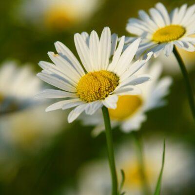 Ox-eye daisy seed