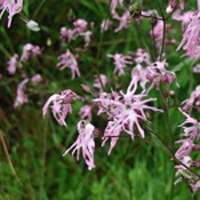 Ragged Robin Wildfowers