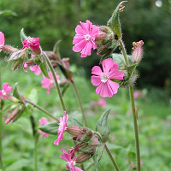 Red Campion Wildfowers