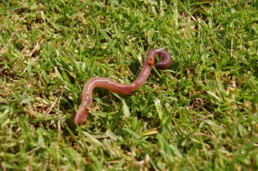 Earth worm on lawn