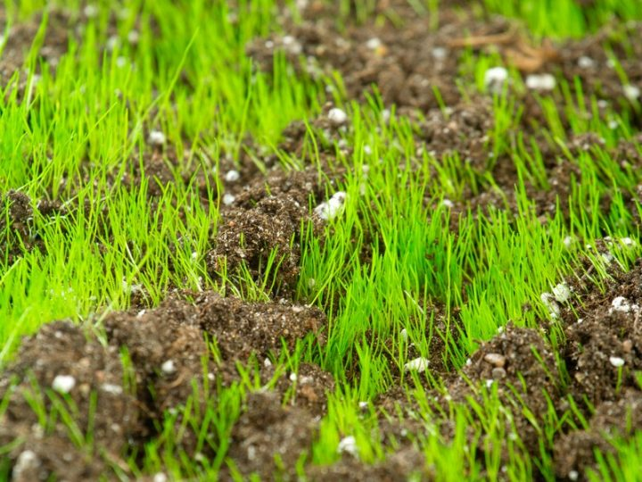What gets grass seed growing?