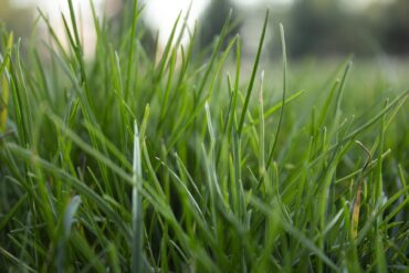Lawn UK grass seed